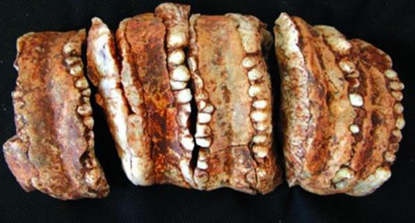 东方剑齿象牙齿化石