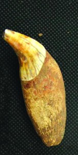巴氏大熊猫犬齿化石