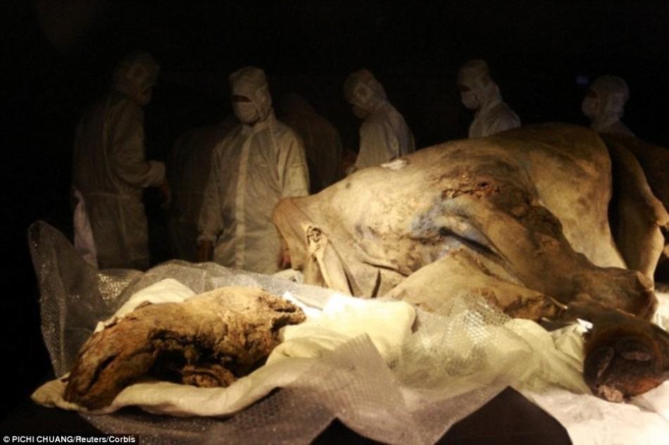 2007年,本世纪发现的唯一一具成年长毛犀牛尸体。