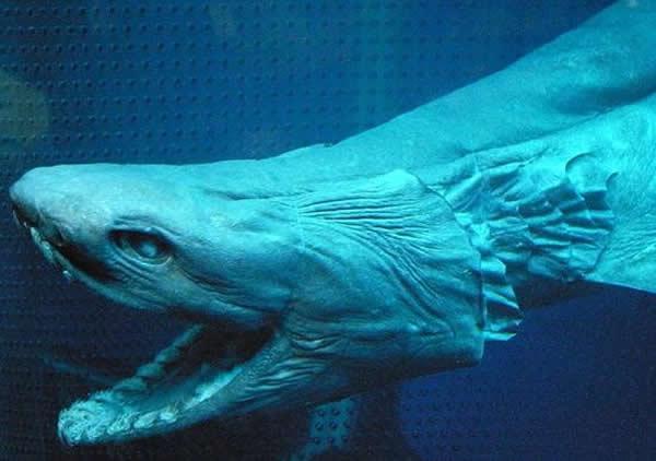 只在2014年,科学家就在海洋中发现1451个动物新种。该结果来自一个11日公布的有关海洋的国际审计。这些新种包括这条生活在纳米比亚近海的皱鳃鲨