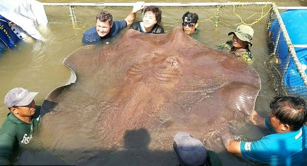 科尔文等人成功捕获巨型魔鬼鱼