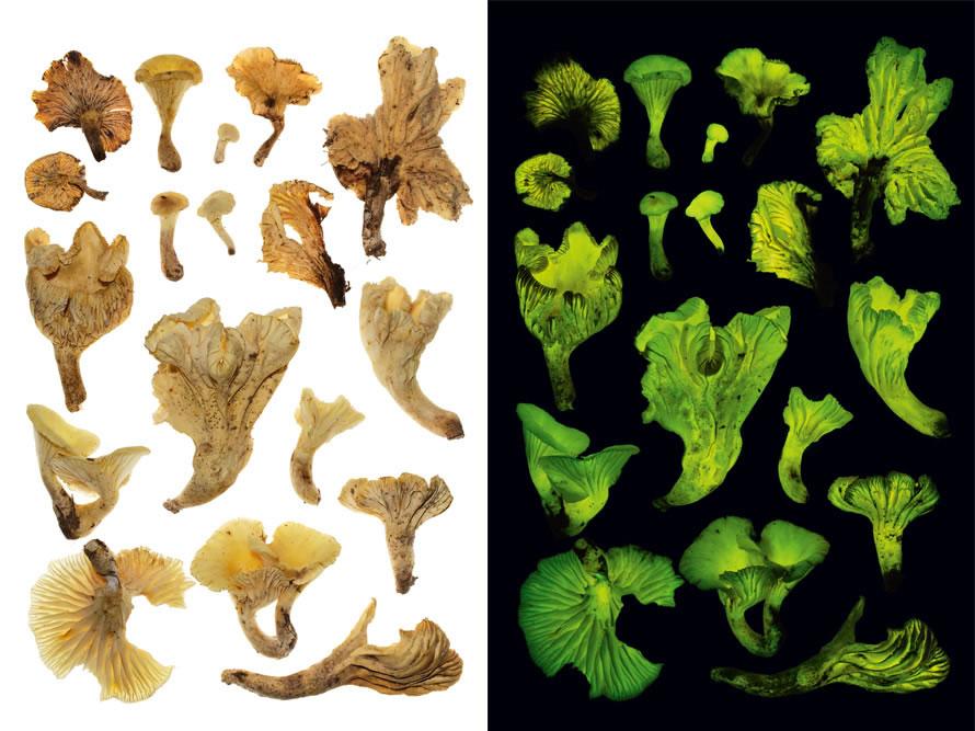 超过90个真菌物种会在黑暗中发光,包括图中这种产自巴西、称为「椰花」的萤光蘑菇。它们发出的光可能会引诱能帮它们传播孢子的昆虫。 NEONOTHOPANUS GA