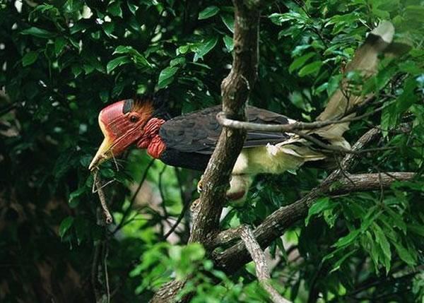 盔犀鸟因独特的头骨,成为被大量猎杀的原因。
