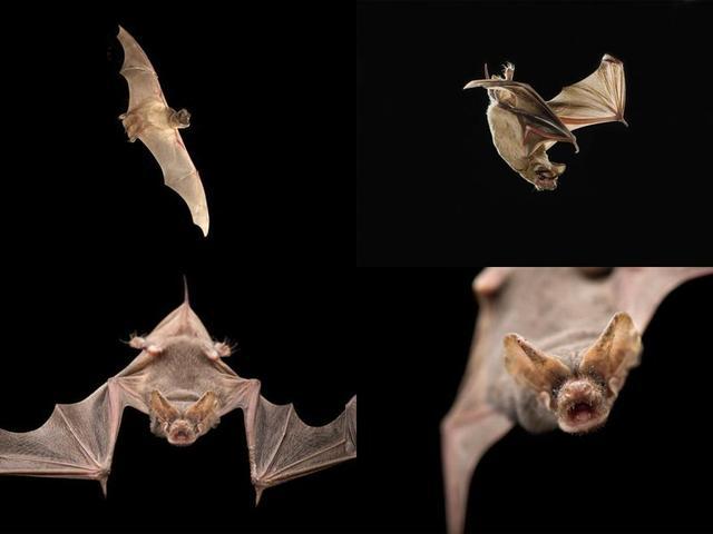 科学家估计,一个大的墨西哥无尾蝙蝠群每晚能够捕食大约250吨昆虫。