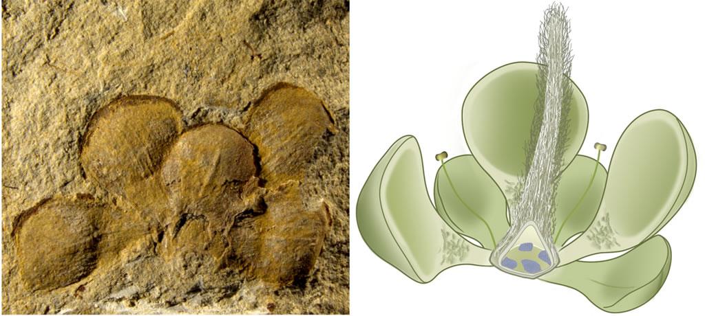 左图,潘氏真花的模式标本;右图,潘氏真花的复原图