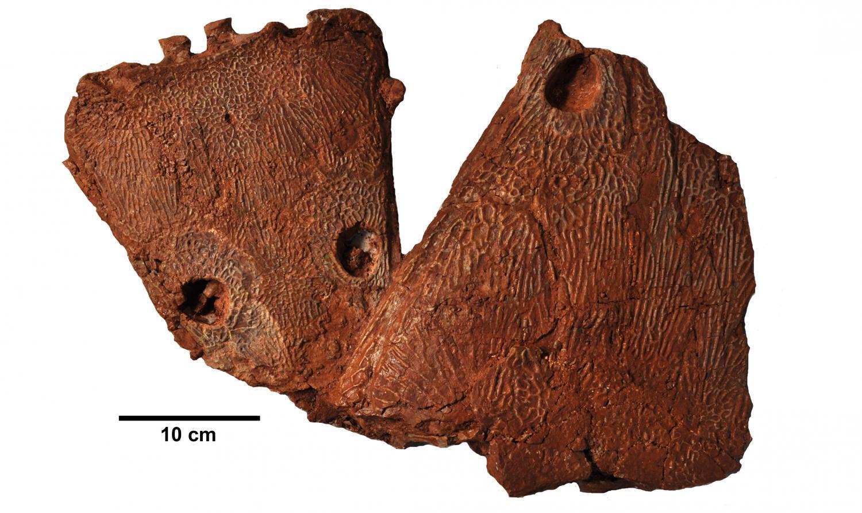 Metoposaurus algarvensis化石