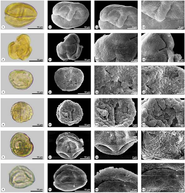 植物化石孢粉的照片1, 2, 3, 4. Quercus. 5, 6. Cyclobalanopsis.