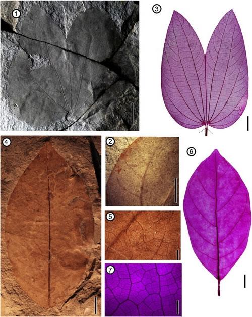 植物化石照片