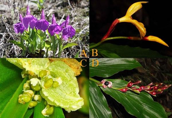 象牙参属植物的花(A)和种子(C)及距药姜属植物的花(B)和种子(D)