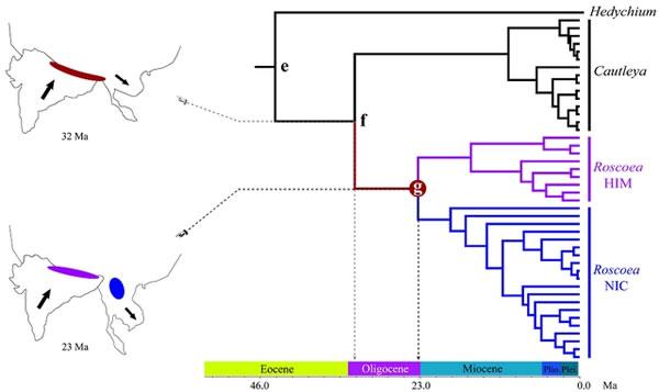 象牙参属和距药姜属的演化时间节点与对应的板块运动时间相吻合