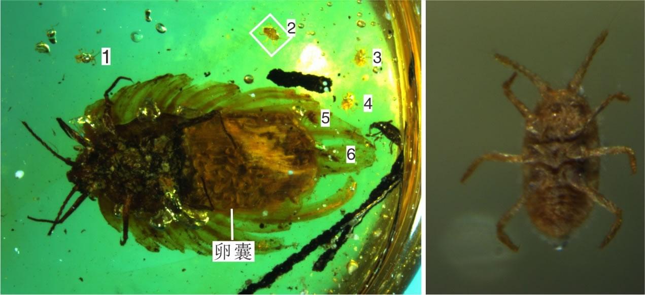 化石成虫及幼虫图