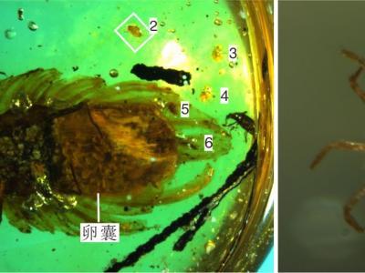 缅甸琥珀中发现昆虫育幼行为的直接证据