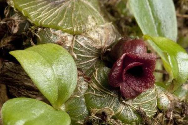 2月5日,英国皇家植物园(又称邱园)公布了一张拍摄于2014年11月27日的图片,展示了一种之前未被记录的兰花。这株兰花属于盾柄兰属(Porpax),种植在皇家
