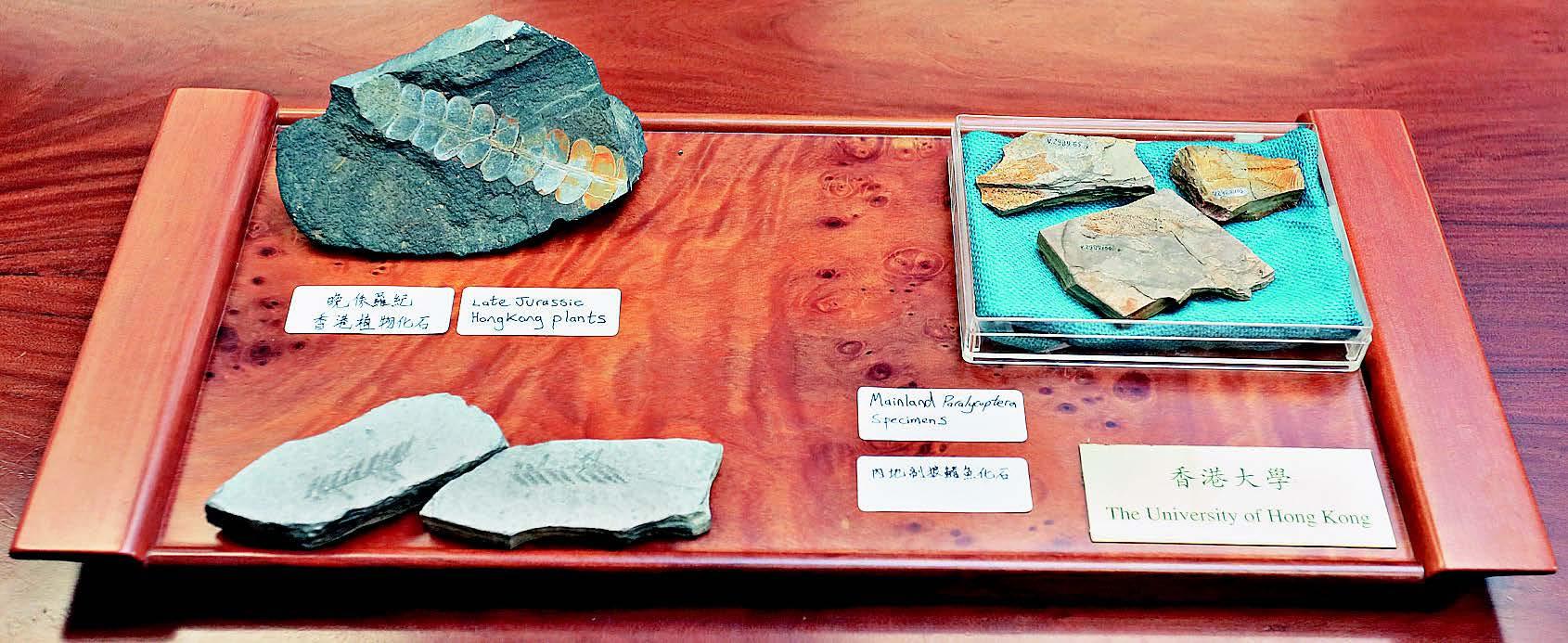 香港大学首次鉴别出一件属晚侏罗世时代的副狼鳍鱼化石