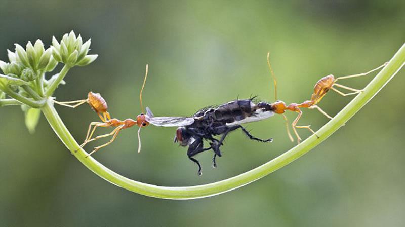 印度喀拉拉邦两只蚂蚁为相互抢夺一只苍蝇回巢陷入角逐