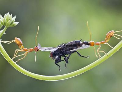 """印度摄影师拍到一群黄色织叶蚁争夺一只马蝇的火爆""""角逐战"""""""