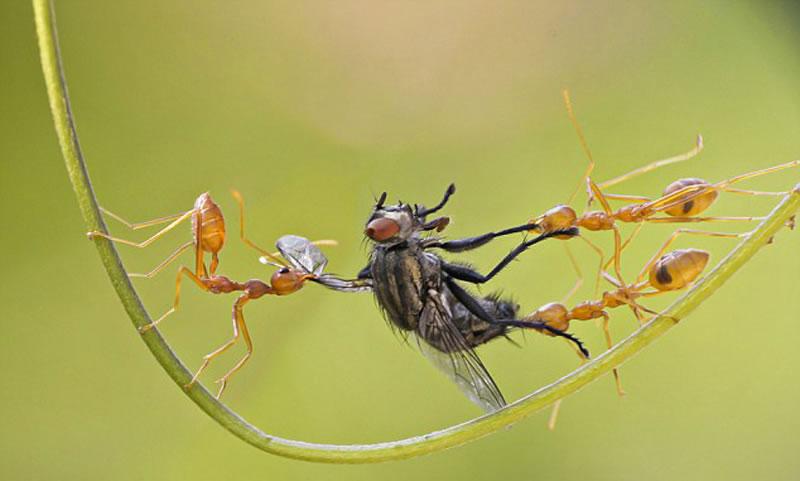 皮拉伊说两只蚂蚁似乎要战斗到最后一刻