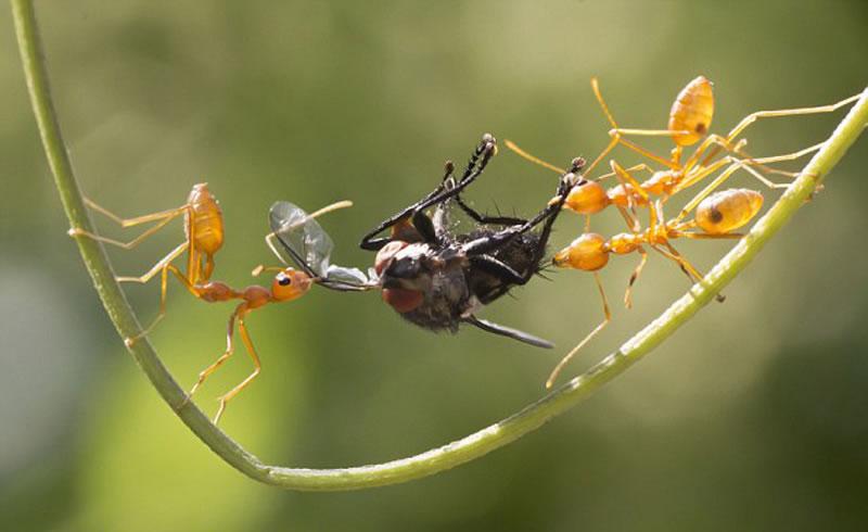 """在两只蚂蚁酣斗之时,又来了第三者""""插足""""干涉。"""
