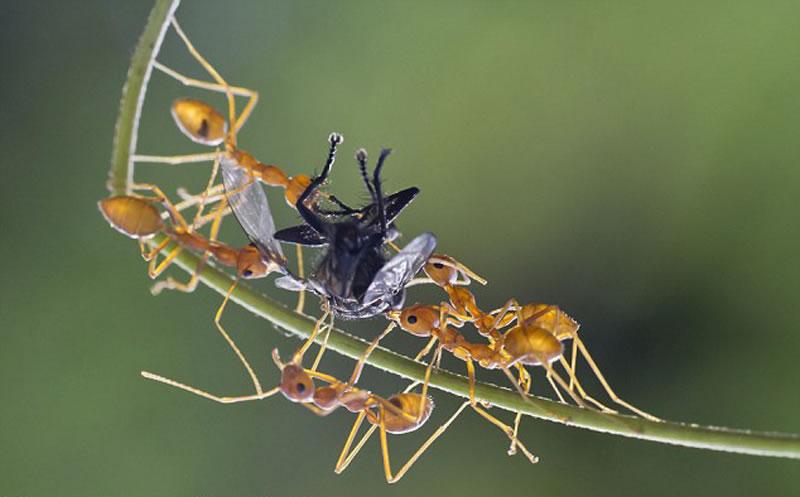 越来越多的蚂蚁加入进来,战斗陷入白热化。