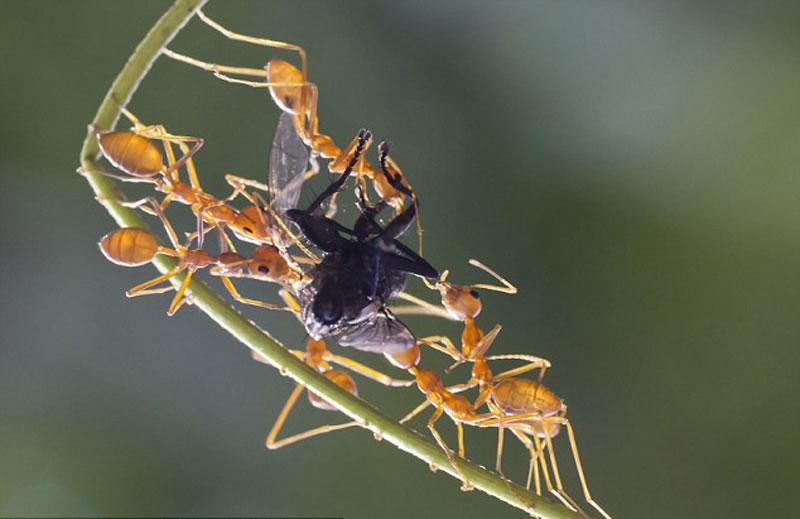 皮拉伊说在一株柚木树上生活着上百万只蚂蚁。