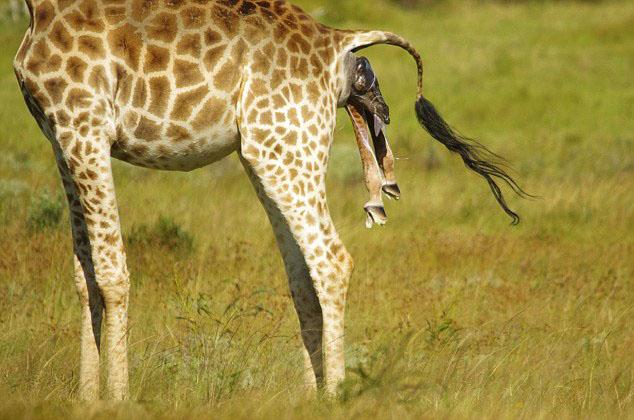 南非伊丽莎白港禁猎区野生长颈鹿宝宝从出生到站立全过程