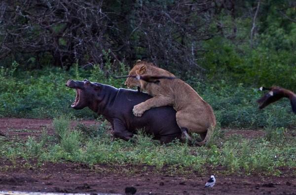 小河马遭母狮攻击,痛得哇哇大叫。