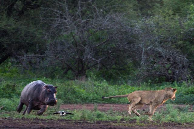 河马妈妈相当气愤,一脸不放过母狮的表情。