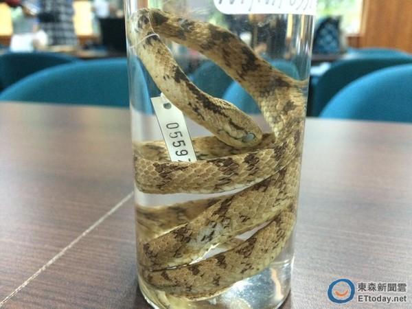 """台师大研究团队发现台湾新种蛇类""""泰雅钝头蛇"""""""