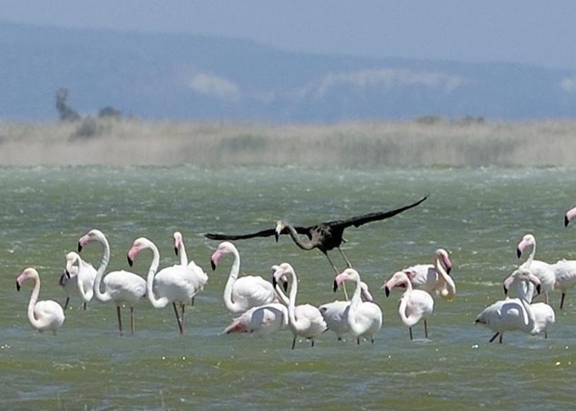周三有观鸟人士发现该只黑色红鹤