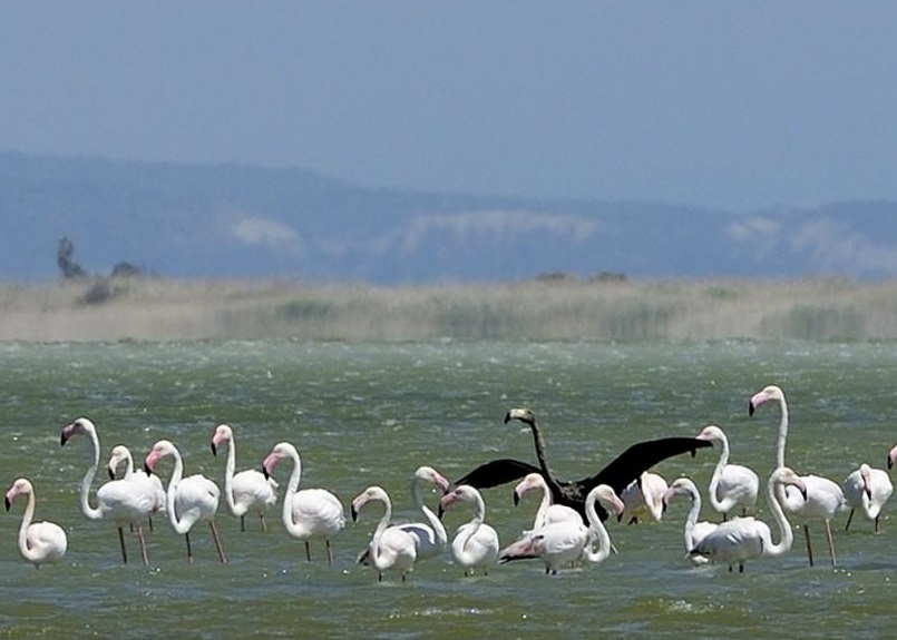 专家指黑色红鹤可能和去年在以色列被发现的属同一只