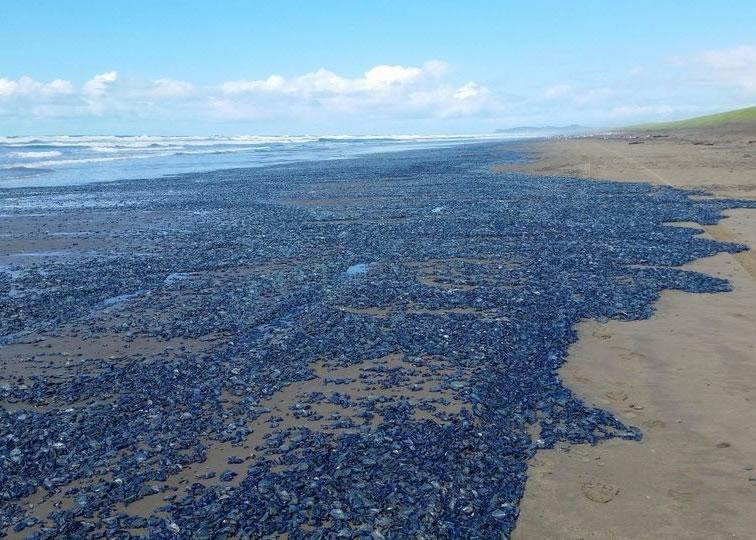帆水母被大量冲上海滩和沿岸地方
