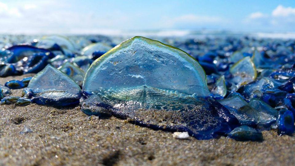 不少被冲上岸的帆水母已经死去