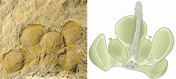中国辽西1.62亿年前侏罗纪的潘氏真花成为迄今为止世界上最早的典型花朵