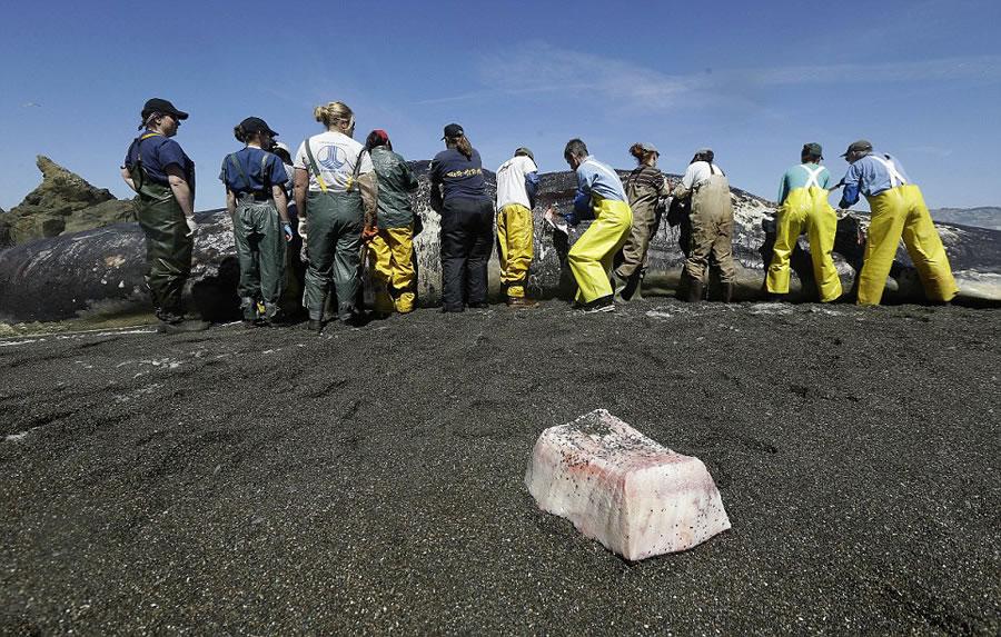 美国加州一只长达15米的抹香鲸被冲上海岸