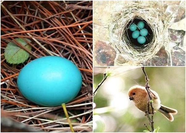 天然的蓝色鸟蛋令网民称奇,专家估计属于棕头鸦雀(右下图)的蛋。