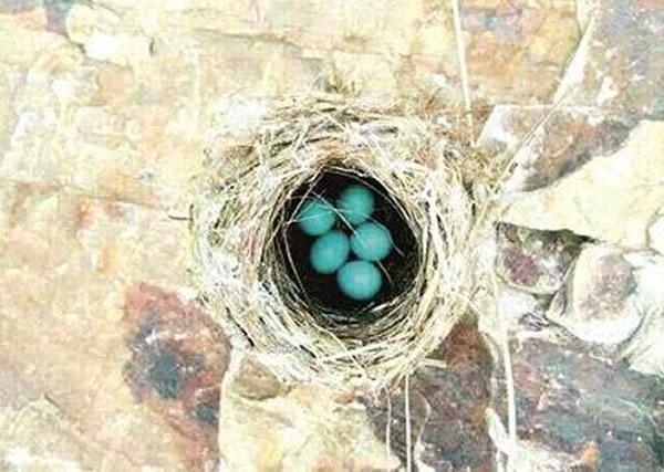 藏着蓝蛋的鸟窝搭得十分精巧