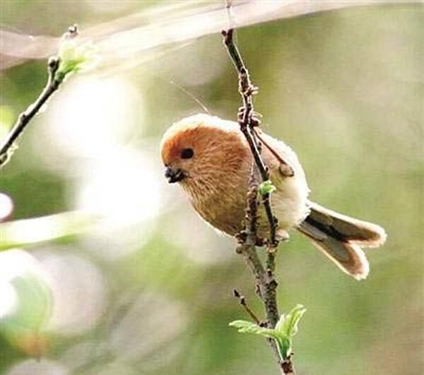 专家指棕头鸦雀每窝产卵3至5只,蛋呈淡蓝色或蓝绿色。