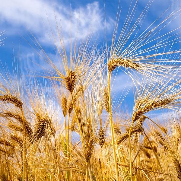 大麦施用有机肥的种植技术