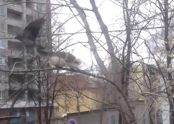当白猫欲进攻时,醒目的黑鸟展翅飞走。