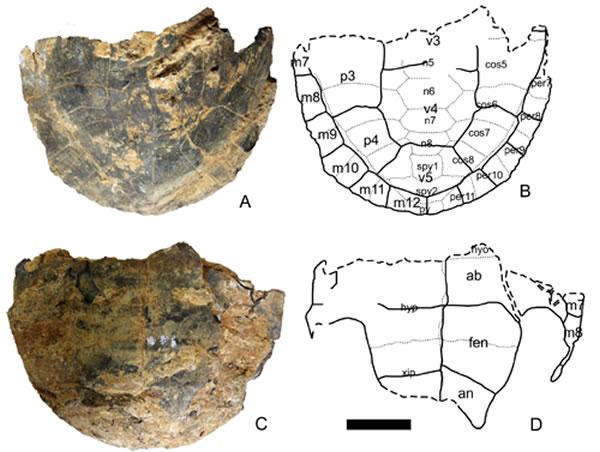 海南岛信冲洞中更新世中华花龟化石。A-B,背甲背视;C-D,腹甲腹视。比例尺5厘米。(李录供图)