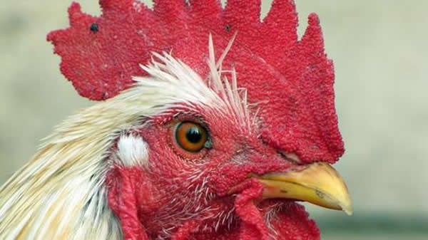 鸡是恐龙的远亲
