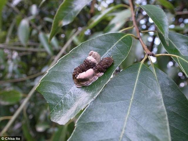 科学家发现一种奇特的毛毛虫可以模拟鸟类粪便,使掠食者远而避之。