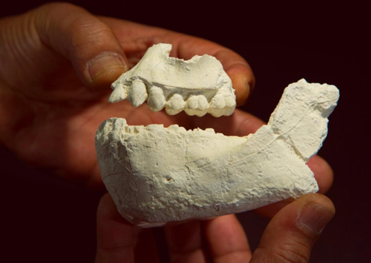 研究人员将Australopithecus deyiremeda早期人类的上颚和下颚骨化石拼凑在一起。
