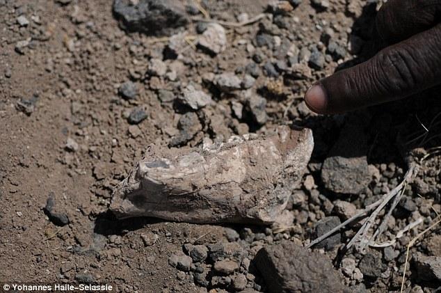 这是考古学家发现的Australopithecus deyiremeda下颚骨化石。