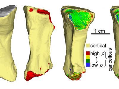 四足动物化石揭示3.33亿年前的一次骨折