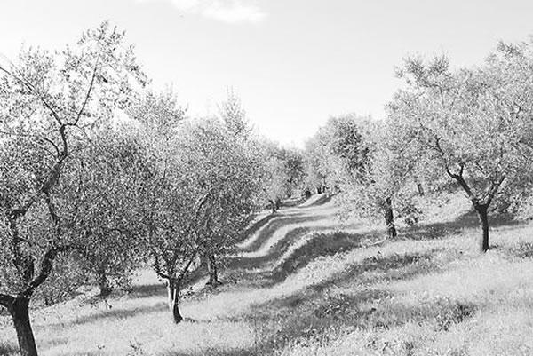 叶缘焦枯病菌暴发前,萨兰托半岛是意大利、欧洲和全球橄榄生产中心。