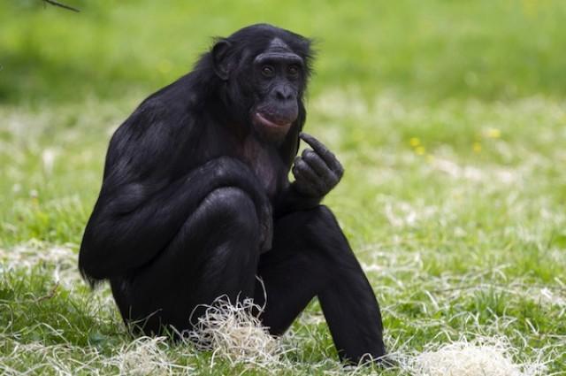 研究发现,人类皮肤、脂肪和肌肉的比例与倭黑猩猩相比显著不同