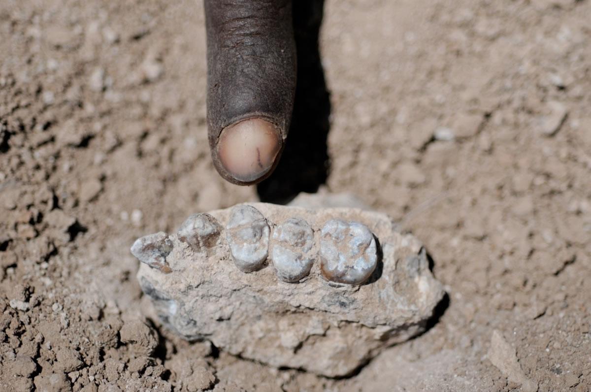研究人员在埃塞俄比亚的阿法地区发现了一些古人类的上下颚化石,经过鉴定判断出这些化石属于距今330万—350万年间的一个此前未知的古人类物种。这个古人类物种已经被