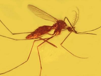 琥珀研究发现疟疾已存在至少1亿年