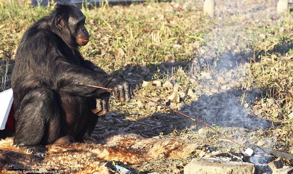 最新研究发现黑猩猩拥有大部分和烹饪有关的智力